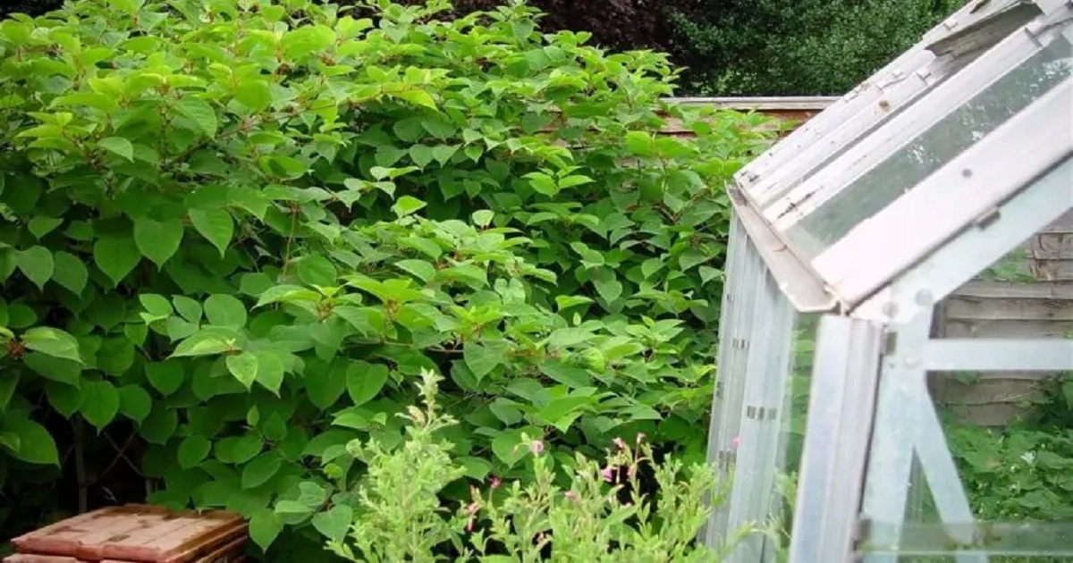 Home owner wins legal case against surveyor for failing to spot Japanese knotweed